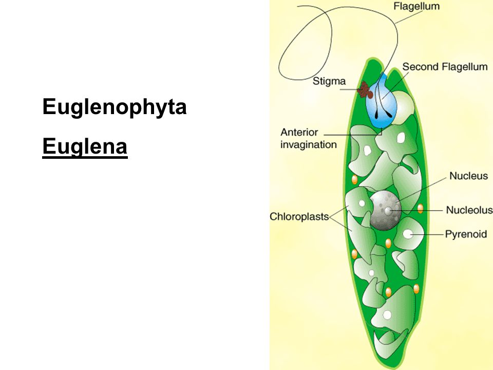 diagram of chrysophyta 22 wiring diagram images wiring