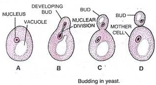 Asexual reproduction definition yahoo bookmarks