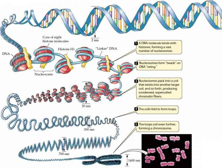 Biology Champ | Packaging of DNA