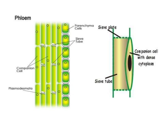 Diagram of phloem cell diy wiring diagrams biology champ transport of food by phloem rh biologychamps com phloem structure plant stem cell diagram ccuart Gallery