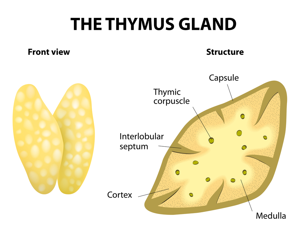 Biology Champ Thymus Gland
